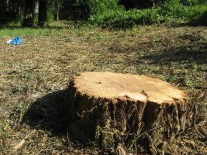 Baumfällungen im Akaziengarten in der Vogelbrut- und Setzzeit – Warum?
