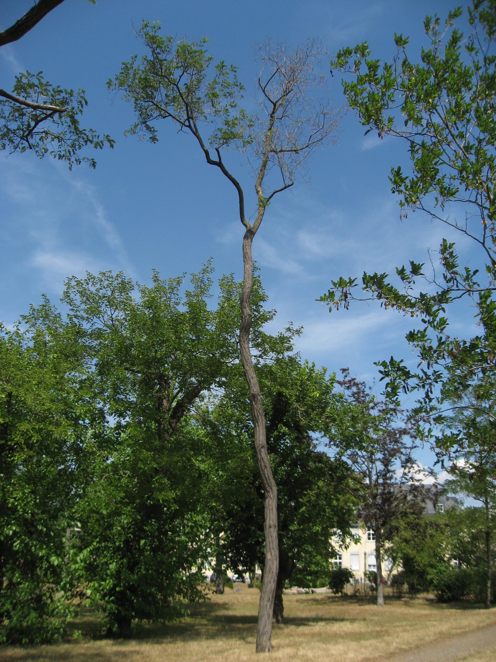Akaziengarten: Wie das Land Hessen und sein LBIH einen historischen Park verdursten und verkommen lässt…