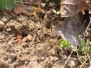 Read more about the article Postsiedlungs-Biotop: Hunderte Wildbienen summen herum – wir zeigen diese im bewegten Bild…