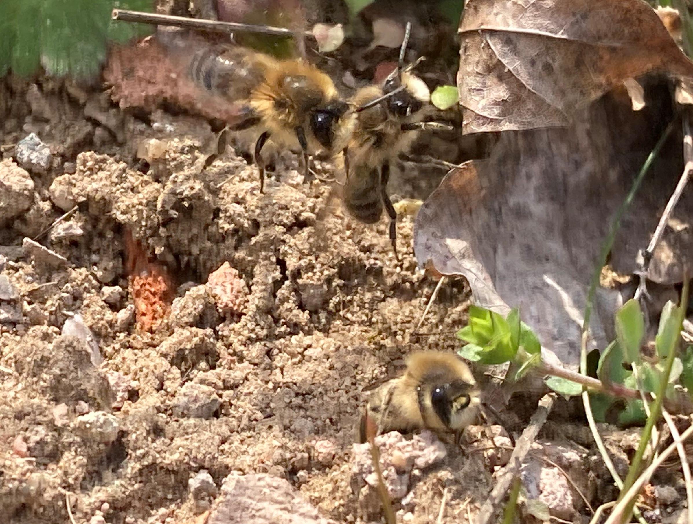 Postsiedlungs-Biotop: Hunderte Wildbienen summen herum – wir zeigen diese im bewegten Bild…